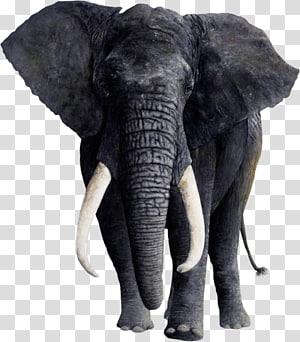 African elephant Tusk Animal Indian elephant, elephant rabbit PNG