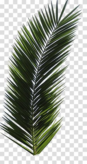 Arecaceae Leaf Tree Frond, Leaf PNG clipart
