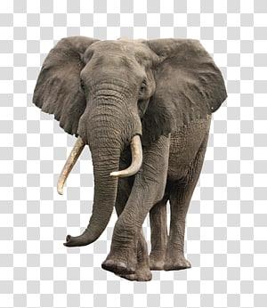 gray elephant illustration, African bush elephant, Elephant PNG