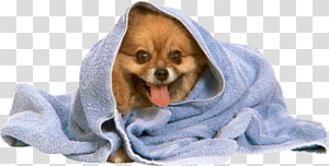 Pomeranian Poodle Puppy Towel Dog grooming, Towel dog PNG