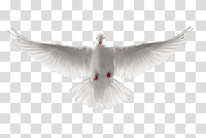 been white dove PNG