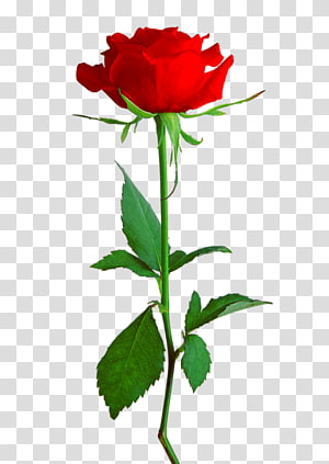 Rose , rose PNG clipart