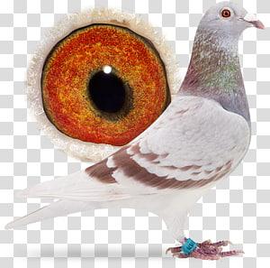 Columbidae Homing pigeon Island Delta Netherlands .com, Sangers Pigeons Bv PNG clipart