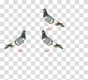 Homing pigeon dove Columbidae Bird, pigeon PNG