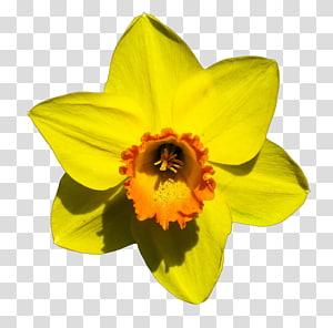 Narcissus pseudonarcissus Flower Bulb, flower PNG clipart