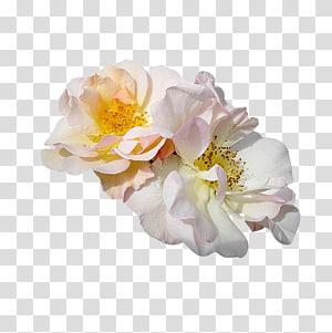 Christmas card Animaatio Rose Flower, christmas PNG