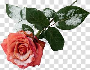 Garden roses , rose flower PNG