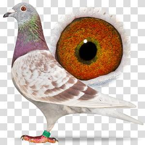 Racing Homer Columbidae Homing pigeon Pigeon racing Beak, racing pigeon PNG clipart