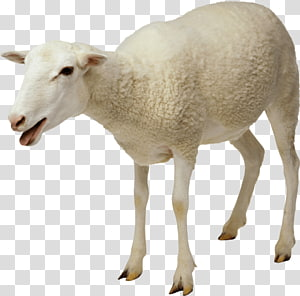 Jacob sheep Goat Cattle , sheep PNG