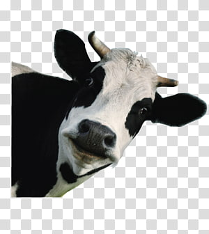 white and black cow, Holstein Friesian cattle Jersey cattle Milk Calf Dairy cattle, cow PNG