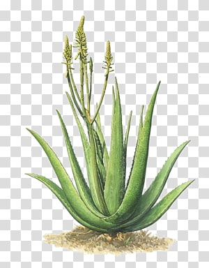 green plant, Aloe vera Plant Agave azul, hand-painted aloe PNG clipart
