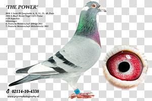 Homing pigeon Columbidae Racing Homer Pigeon racing Cat, Cat PNG clipart