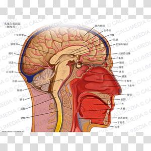 Sagittal plane Anatomy Coronal plane Transverse plane Head, Brain PNG