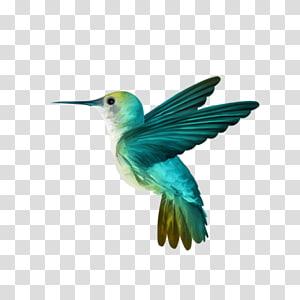 teal and white hummingbird illustration, Hummingbird , Hummingbird PNG