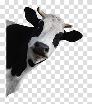 Holstein Friesian cattle Dairy cattle Grazing, funny animals PNG
