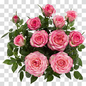 Rosa Danica A/S Garden roses Flower Pink, rose PNG clipart