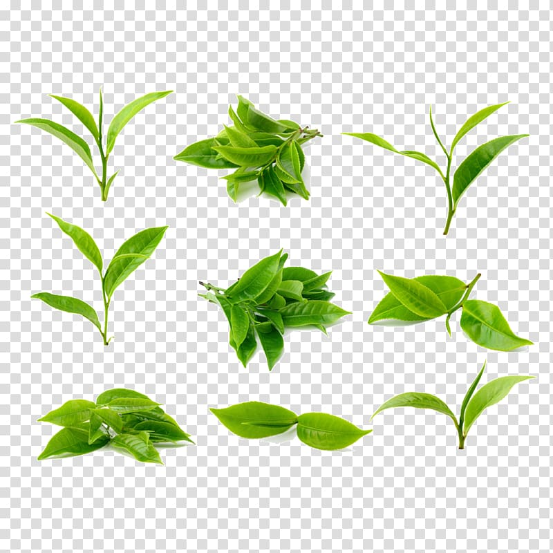 Green tea Tea processing, Tea leaves, green leafed plants collage PNG clipart