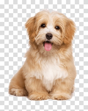 Havanese dog Pet sitting Labrador Retriever Puppy Cat, pet dog PNG