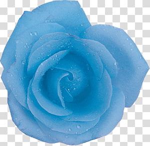 Centifolia roses Blue rose Flower Aqua, blue rose PNG clipart