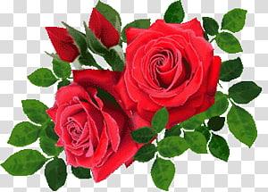 rose rose PNG clipart