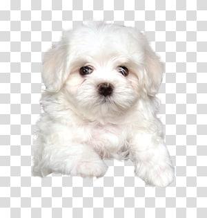 Maltese dog Havanese dog Bolognese dog Little lion dog Coton de Tulear, puppy PNG