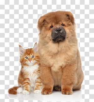 brown chow-chow puppy and orange tabby cat, Chow Chow Kitten Puppy Cat, Pet cat dog PNG clipart