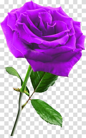 Rose Flower , lilac PNG