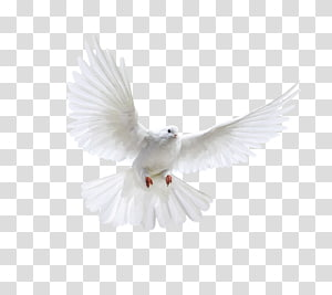 Columbidae Domestic pigeon Bird, Bird PNG