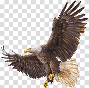 Bald Eagle Drawing, eagle PNG