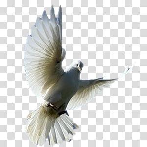 Fantail pigeon Columbidae Bird Fancy pigeon, Pigeon s PNG