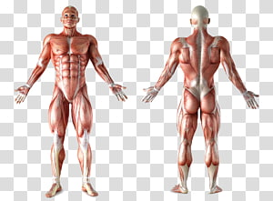 human muscular system illustration, Muscle Anatomy Human body Muscular system Organ, human body PNG