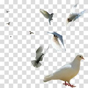 Rock dove Columbidae Bird Swallow Squab, Bird PNG