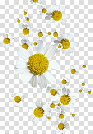 German chamomile Oxeye daisy Flower Tripleurospermum, chamomile PNG