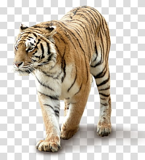 South China tiger, Domineering tiger PNG