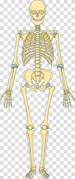 Bone Human skeleton Hip Vertebral column, Skeleton PNG