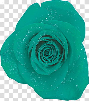 Garden roses Blue rose Turquoise, rose PNG clipart