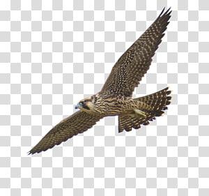 Prairie falcon Peregrine falcon , Hawk PNG
