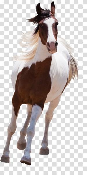 American Paint Horse Mustang Arabian horse Stallion, mustang PNG