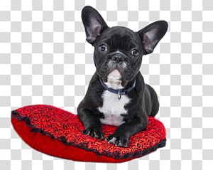 American Bulldog Old English Bulldog French Bulldog Puppy, puppy PNG