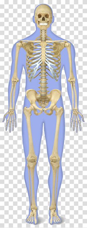 skeleton illustration, The human skeleton Human body Anatomy, bones PNG