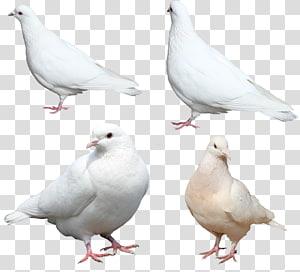 Homing pigeon Columbidae Bird, White pigeons PNG
