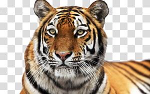 Siberian Tiger Colchester Zoo Roar Cat, tigers PNG