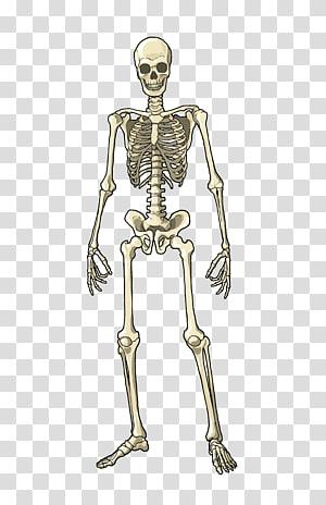 smiling white skeleton, Human body Muscle Bone Skeleton Homo sapiens, bones PNG