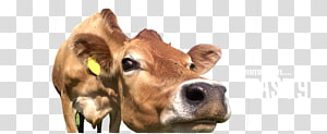 Dairy cattle Calf Snout, grazing cows PNG clipart