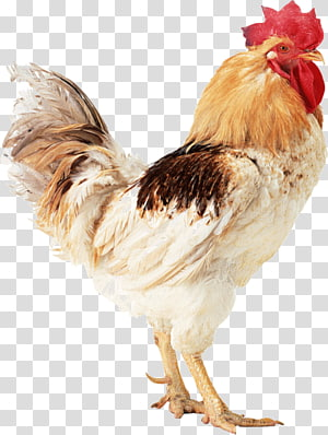 Turkey Silkie Rooster, Poule PNG