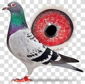 Racing Homer Homing pigeon Columbidae Bird Pigeon racing, Bird PNG clipart