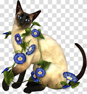 Siamese cat Thai cat Balinese cat Snowshoe cat Birman, kitten PNG