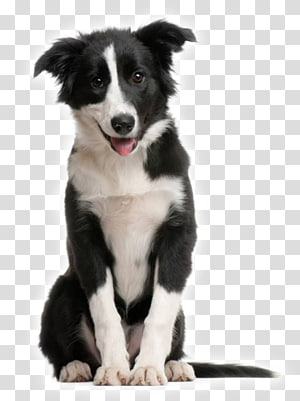 Border Collie Rough Collie Puppy Shetland Sheepdog McNab dog, puppy PNG