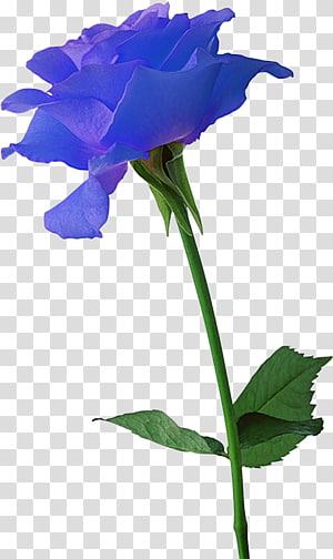 Flowering Bulbs Black rose Plant, rose PNG