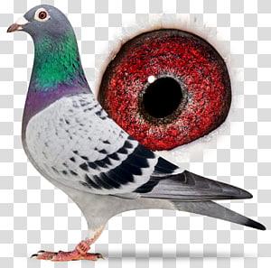 Racing Homer Columbidae Homing pigeon Homer Simpson Pigeon racing, Sangers Pigeons Bv PNG clipart